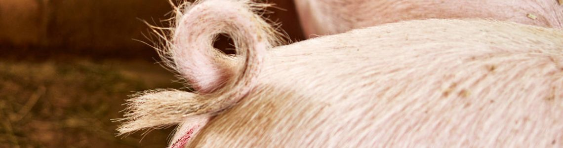 Topigs-Norsvin---using-cameras-to-breed.